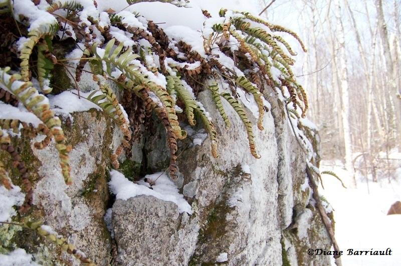 Segments enroulés en hiver