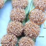 Les sores et les sporanges