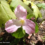 Fleur rosée en fin de floraison