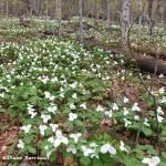 Sous-bois fleuri